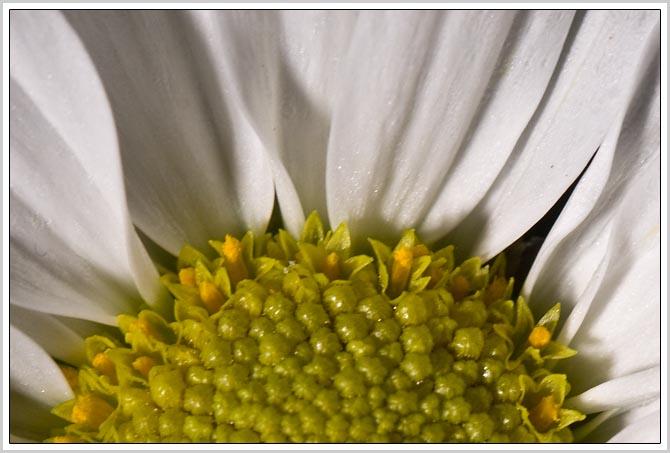 chrysanthart