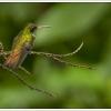 groenekolibri1