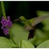 groenekolibri2