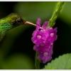 groenekolibri6