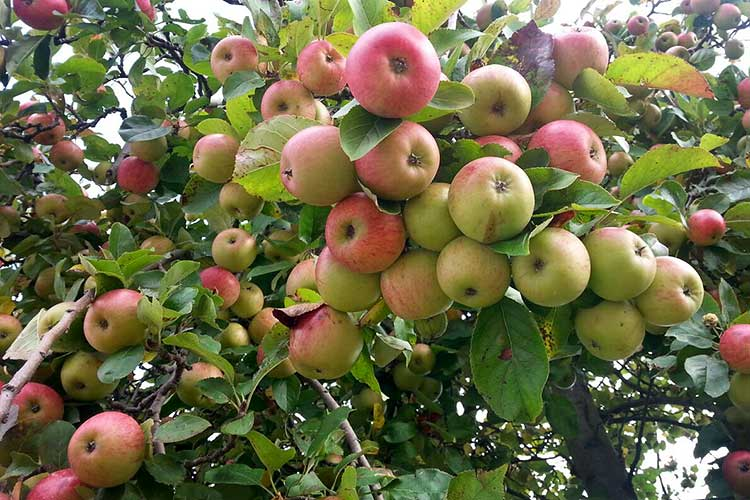 veel appels