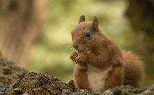 knabbelende eekhoorn